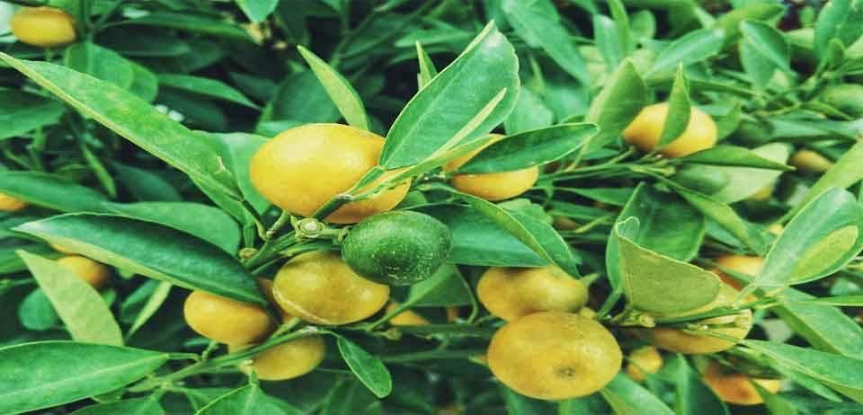 Limon Kemoterapiden 10.000 kat daha güçlü 12