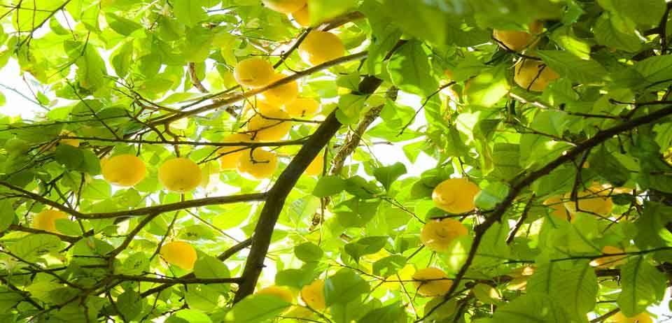 Limon Kemoterapiden 10.000 kat daha güçlü 15