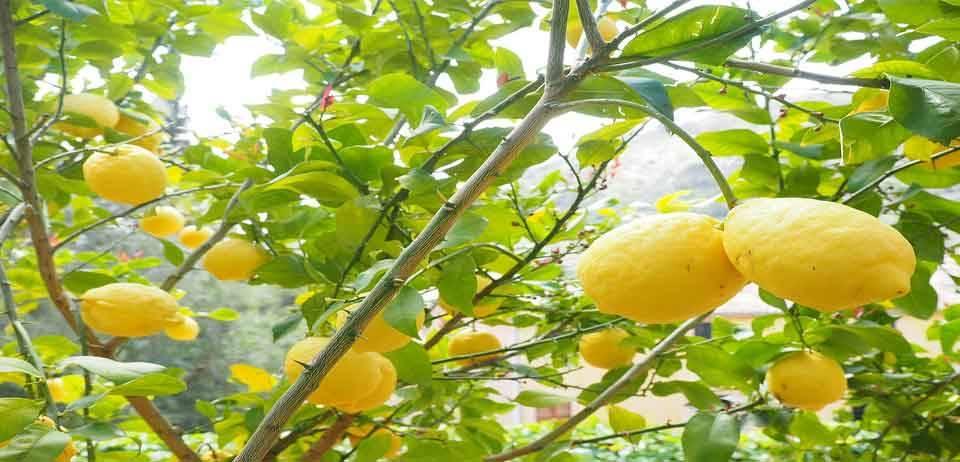 Limon Kemoterapiden 10.000 kat daha güçlü 8