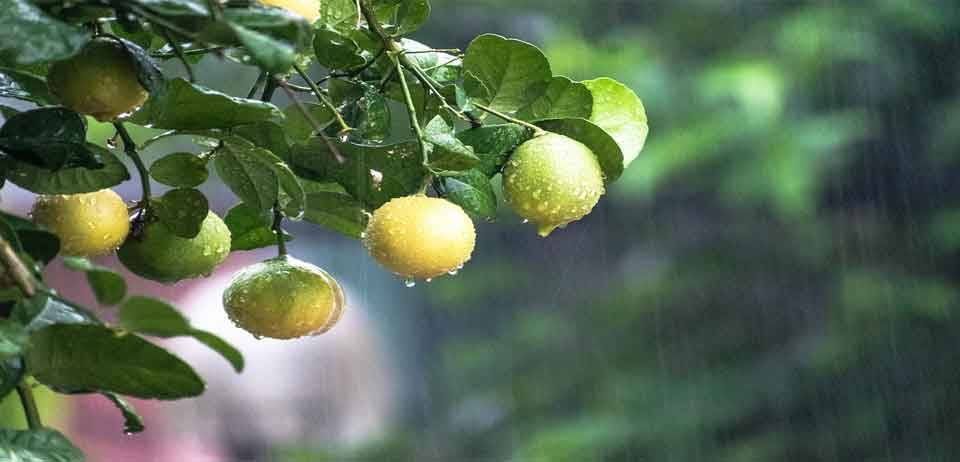Limon Kemoterapiden 10.000 kat daha güçlü 9