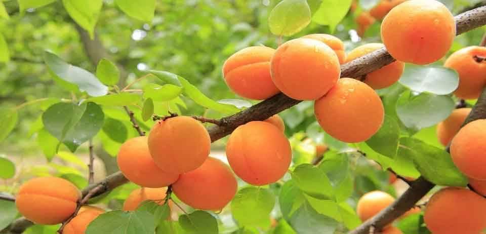 Yaz Meyvelerini Tüketirken Dikkat Edilmesi Gerekenler 6