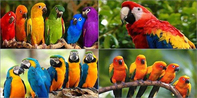 Muhabbet kuşu hangisinin bir türüdür