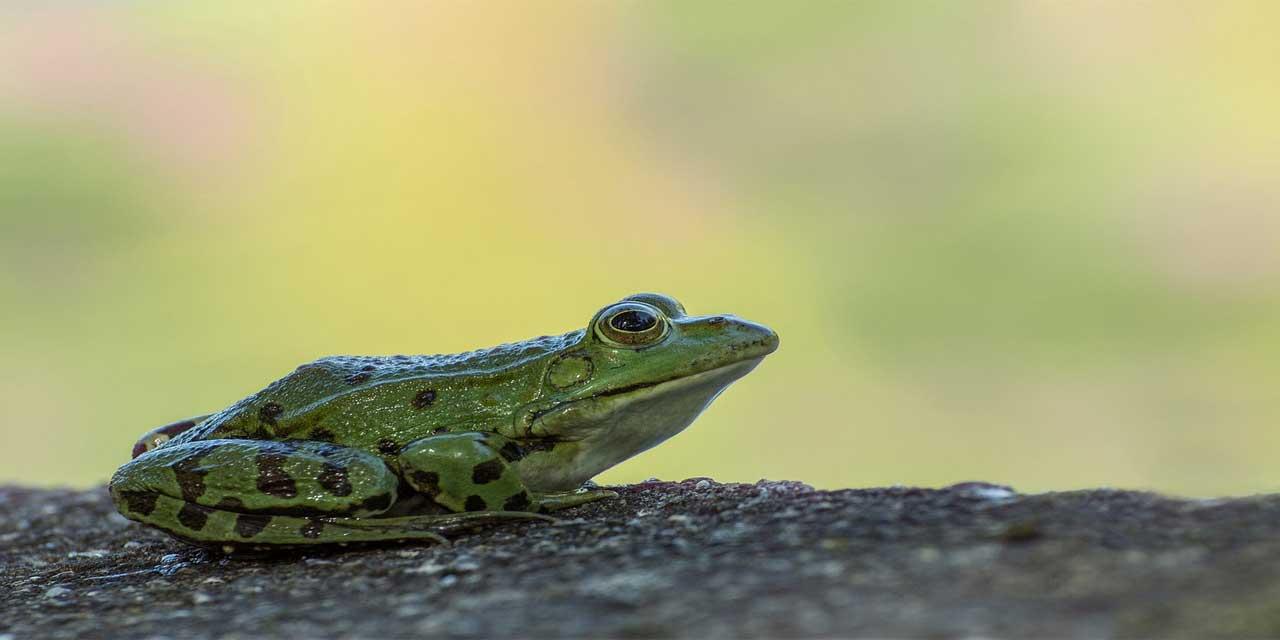 Kurbağa hangi kategori hayvanıdır