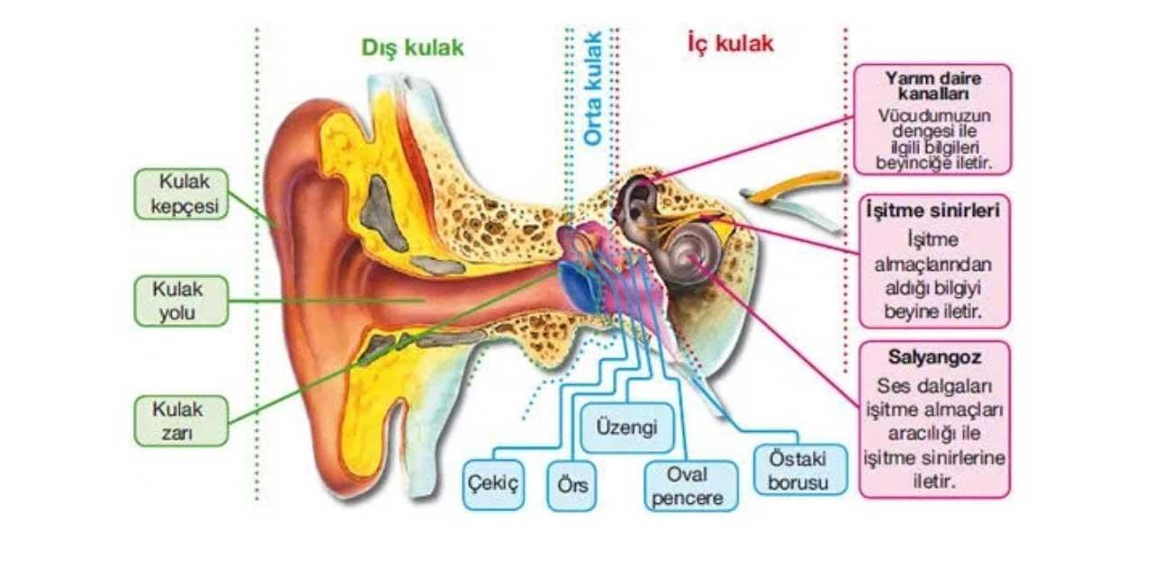 Örs, çekiç ve üzengi kemikleri vücudumuzun neresinde bulunur