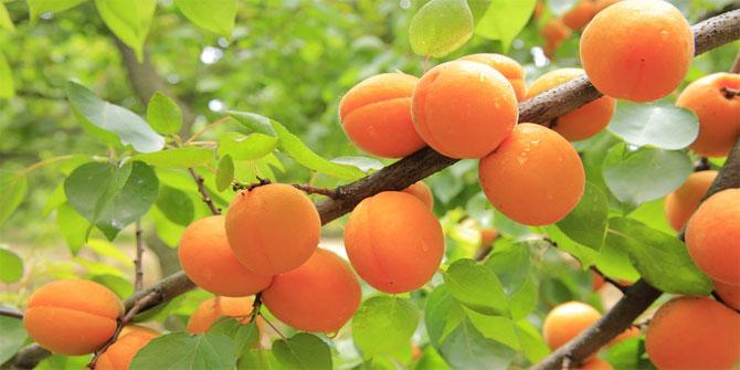 Meyve ile ilgili deyimler