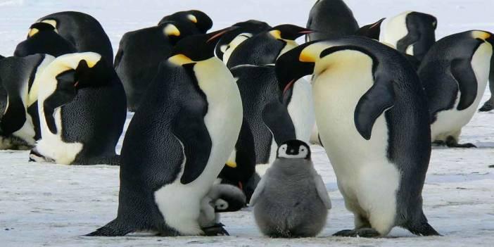 1,5 milyonluk penguen sürüsü keşfedildi