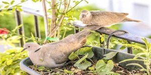 Üveyik nasıl bir kuştur