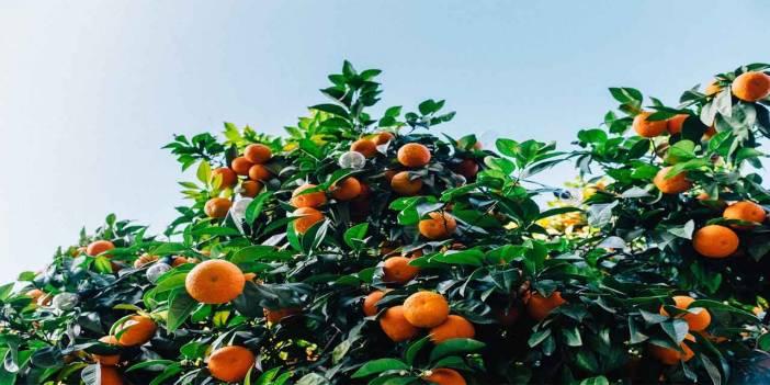 Ağaç, meyvesi olunca başını aşağı salar