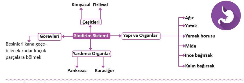 sindirim-sistemi.jpg