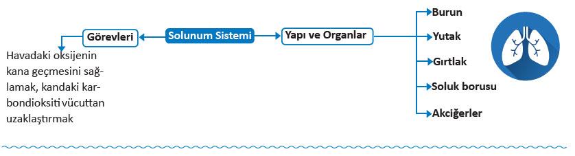 solunum-sistemi.jpg